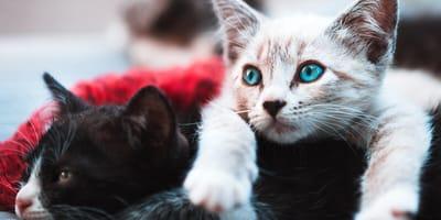Test: ¿Qué raza de gato es la ideal para ti?