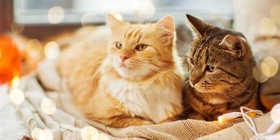 ¿Te gustan más los gatos de pelo corto o los de pelo largo?